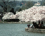 Cherry Blossom Festival Washington DC